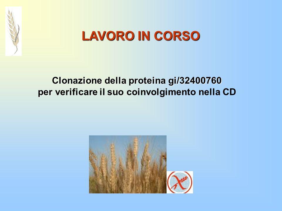 LAVORO IN CORSO Clonazione della proteina gi/32400760 per per verificare il suo coinvolgimento nella CD
