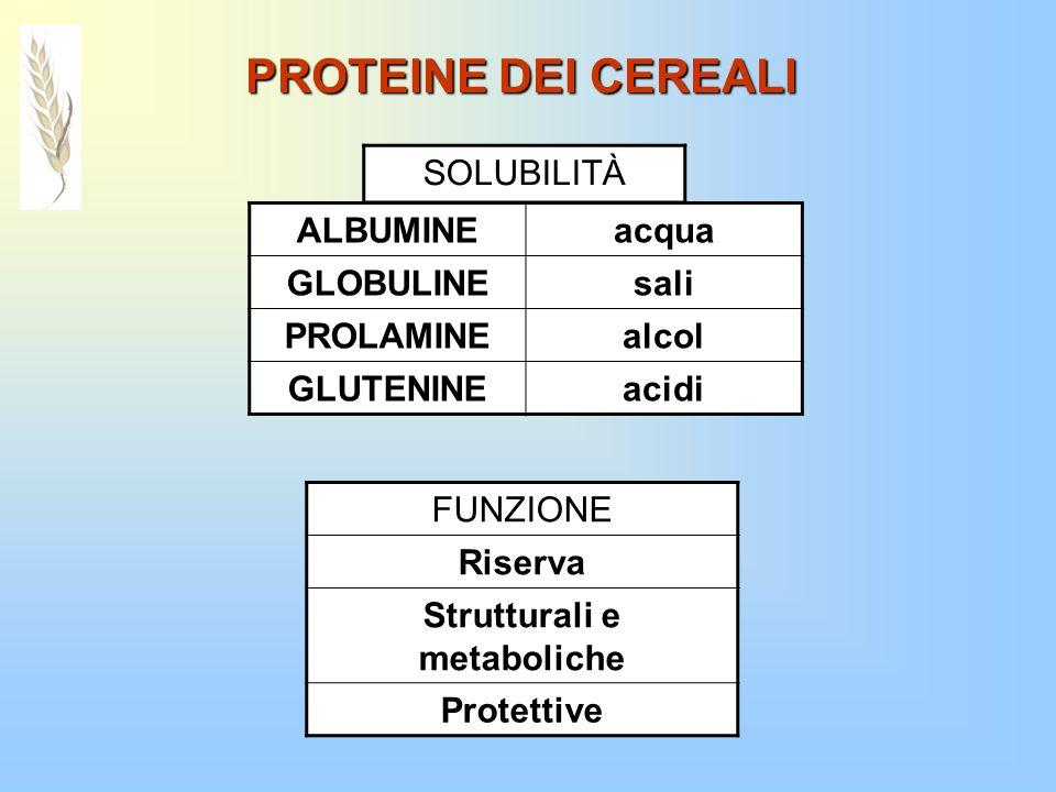 PROTEINE DEI CEREALI ALBUMINEacqua GLOBULINEsali PROLAMINEalcol GLUTENINEacidi SOLUBILITÀ FUNZIONE Riserva Strutturali e metaboliche Protettive