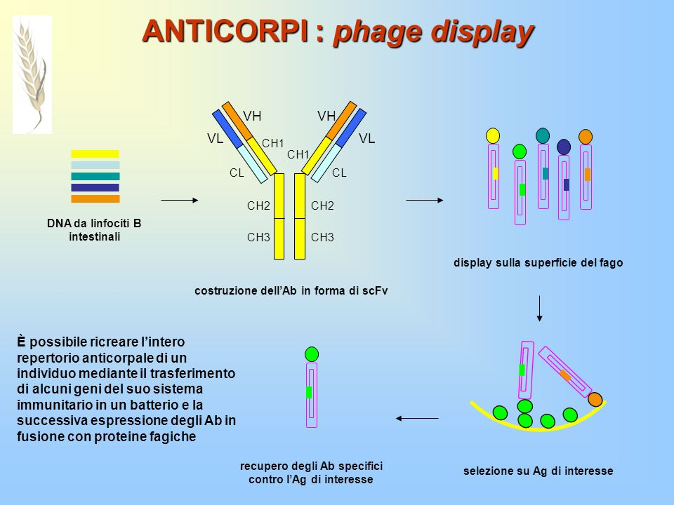 ANTICORPI : phage display DNA da linfociti B intestinali VH VL CH1 CH2 CH3 CH2 CH3 CH1 CL costruzione dellAb in forma di scFv display sulla superficie