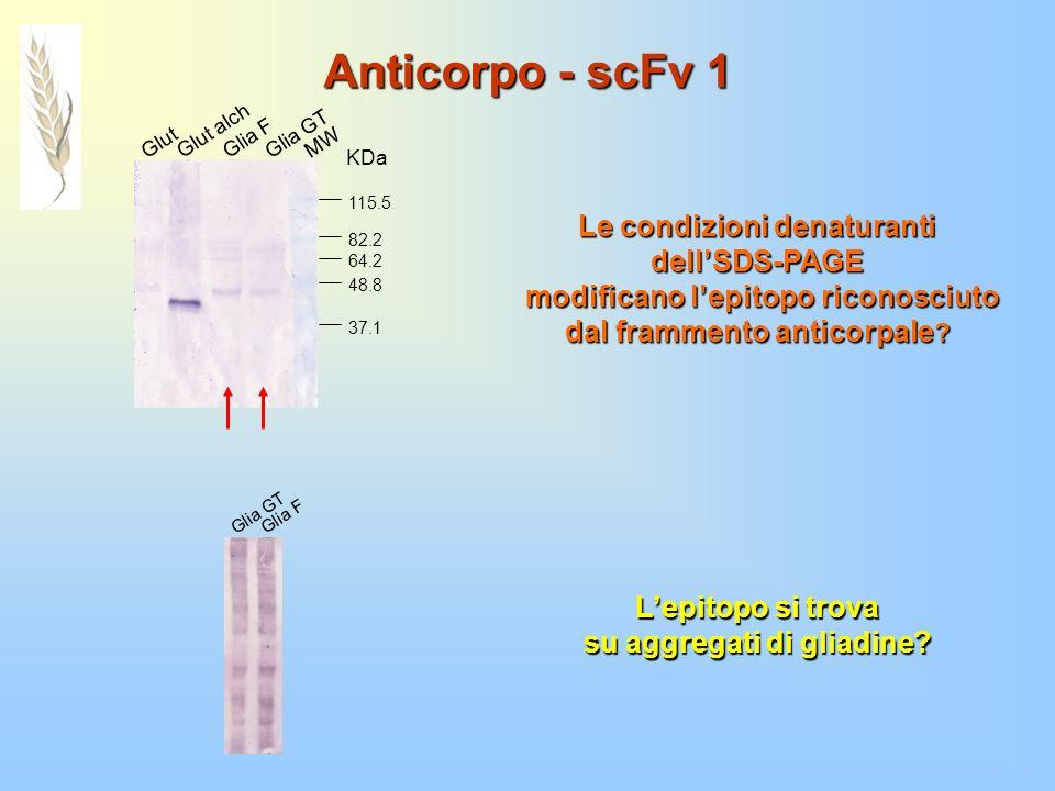 Anticorpo - scFv 1 Glut Glut alch Glia F Glia GT MW 64.2 48.8 37.1 82.2 115.5 KDa Le condizioni denaturanti dellSDS-PAGE modificano lepitopo riconosci