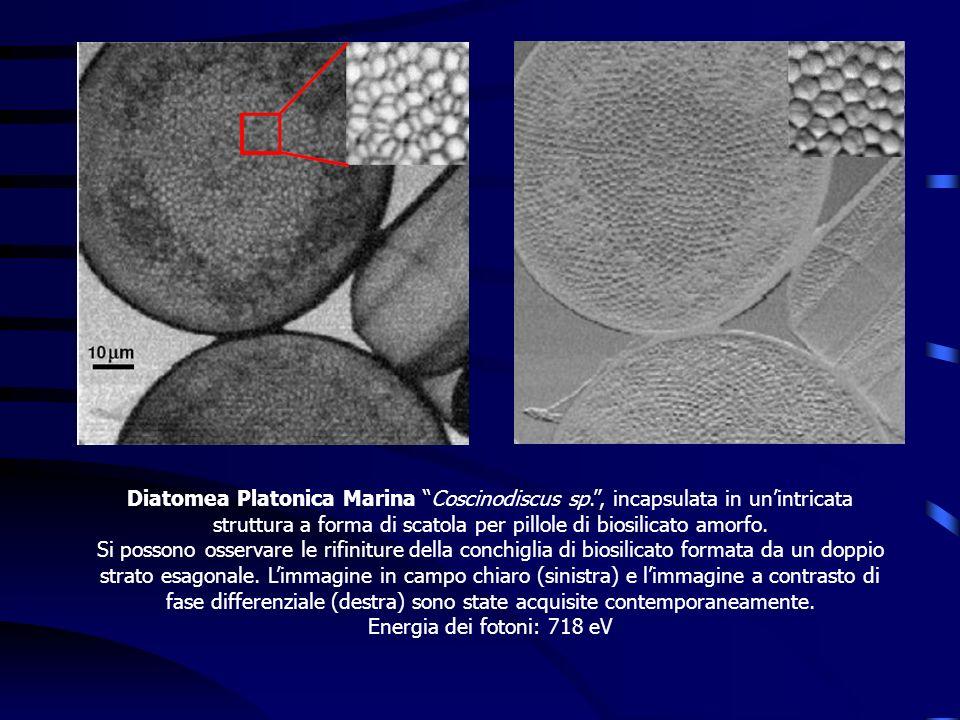 Diatomea Platonica Marina Coscinodiscus sp., incapsulata in unintricata struttura a forma di scatola per pillole di biosilicato amorfo. Si possono oss
