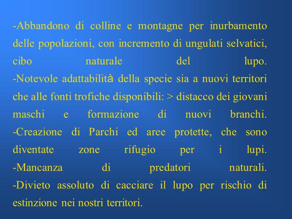 -Abbandono di colline e montagne per inurbamento delle popolazioni, con incremento di ungulati selvatici, cibo naturale del lupo.
