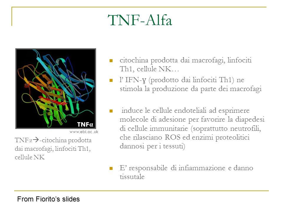 TNF-Alfa citochina prodotta dai macrofagi, linfociti Th1, cellule NK… l IFN- ɣ (prodotto dai linfociti Th1) ne stimola la produzione da parte dei macr