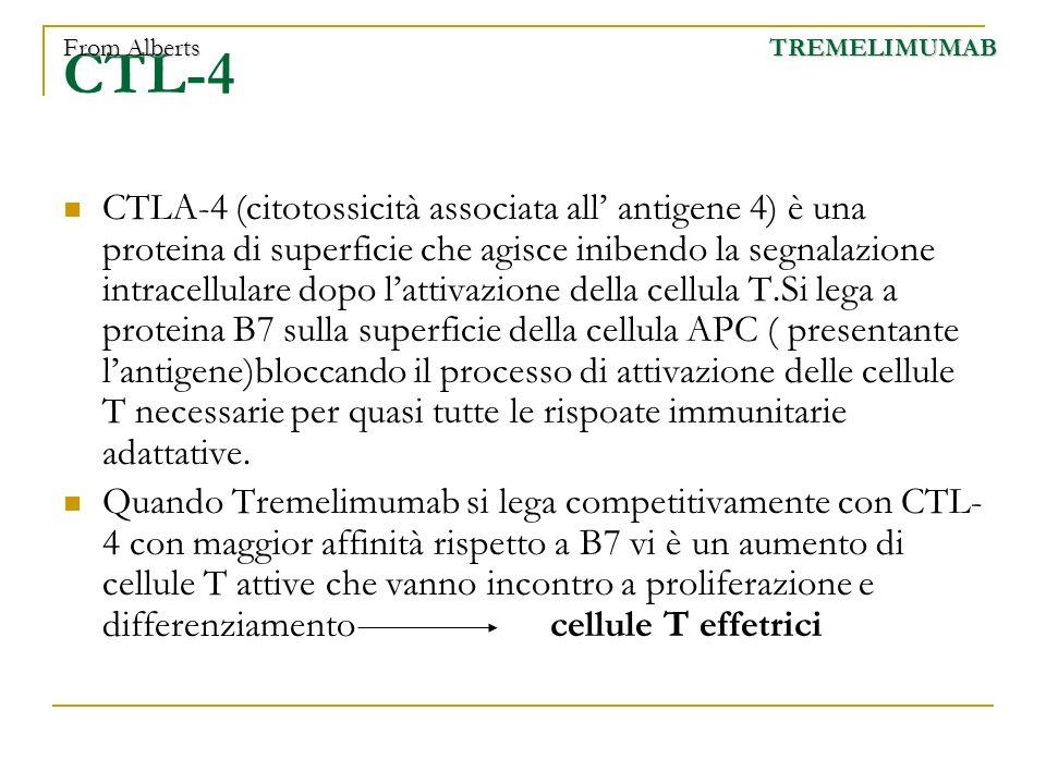 CTL-4 CTLA-4 (citotossicità associata all antigene 4) è una proteina di superficie che agisce inibendo la segnalazione intracellulare dopo lattivazion