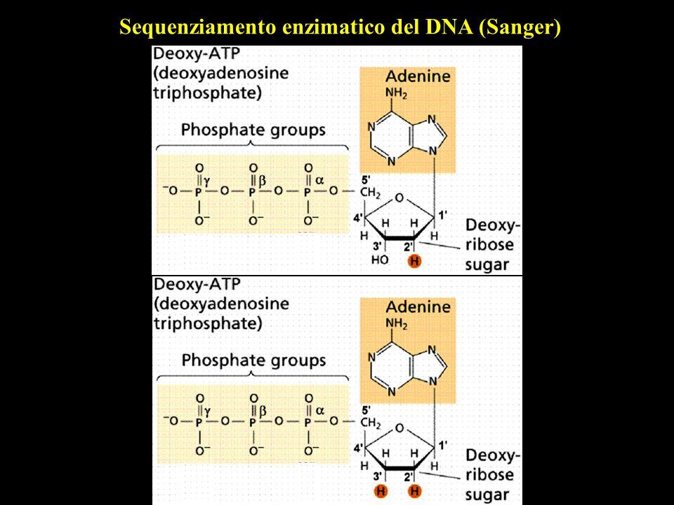 M 1 2 3 4 5 6 7 8 9 10 E6E4 + mRNA DNA satellite 18S 28S 7S - RNA totale DNA genomico