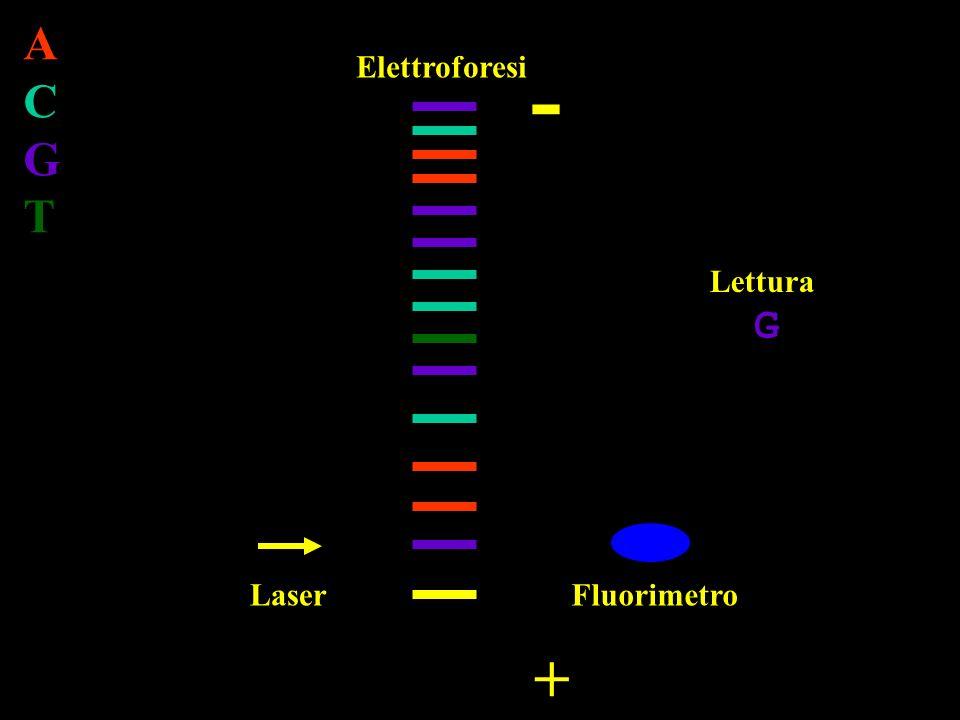 Laser Elettroforesi Fluorimetro - + Lettura ACGTACGT G