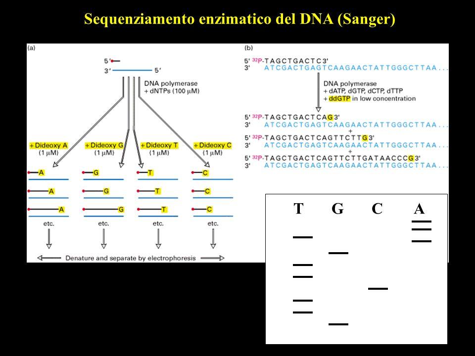 T G C A Sequenziamento enzimatico del DNA (Sanger)
