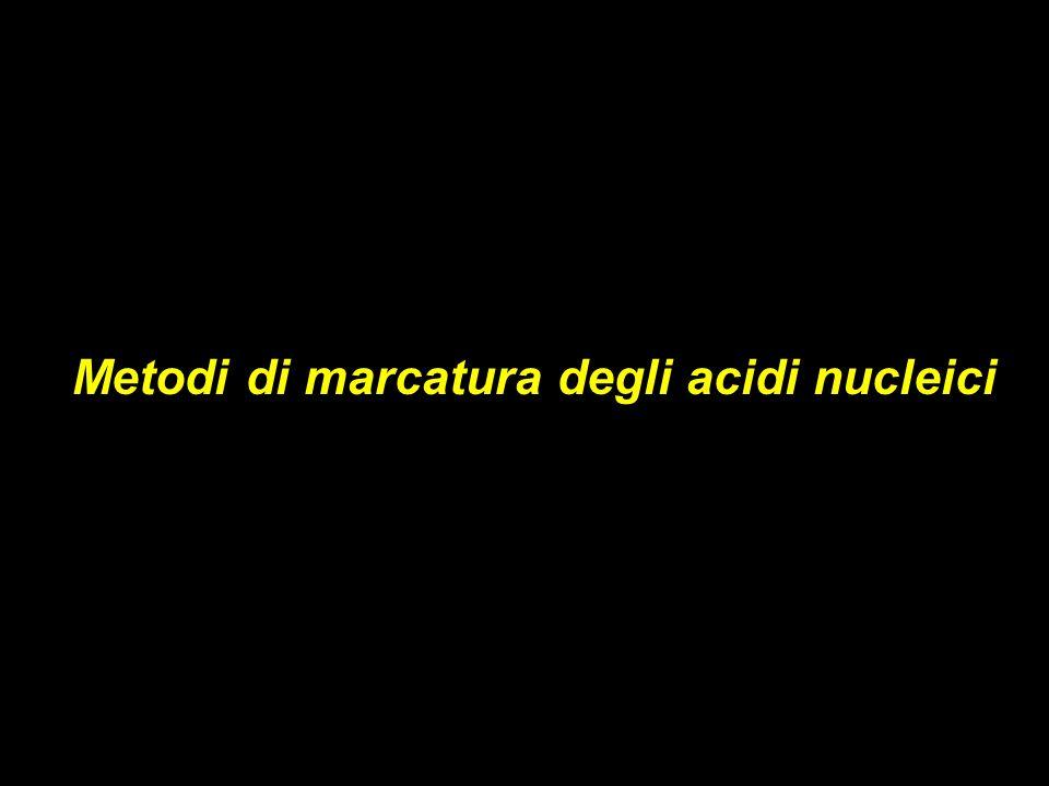 Metodi di marcatura degli acidi nucleici