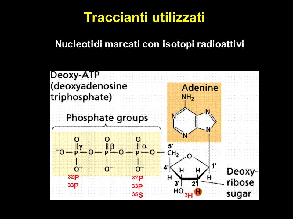 Traccianti utilizzati Nucleotidi marcati con isotopi radioattivi