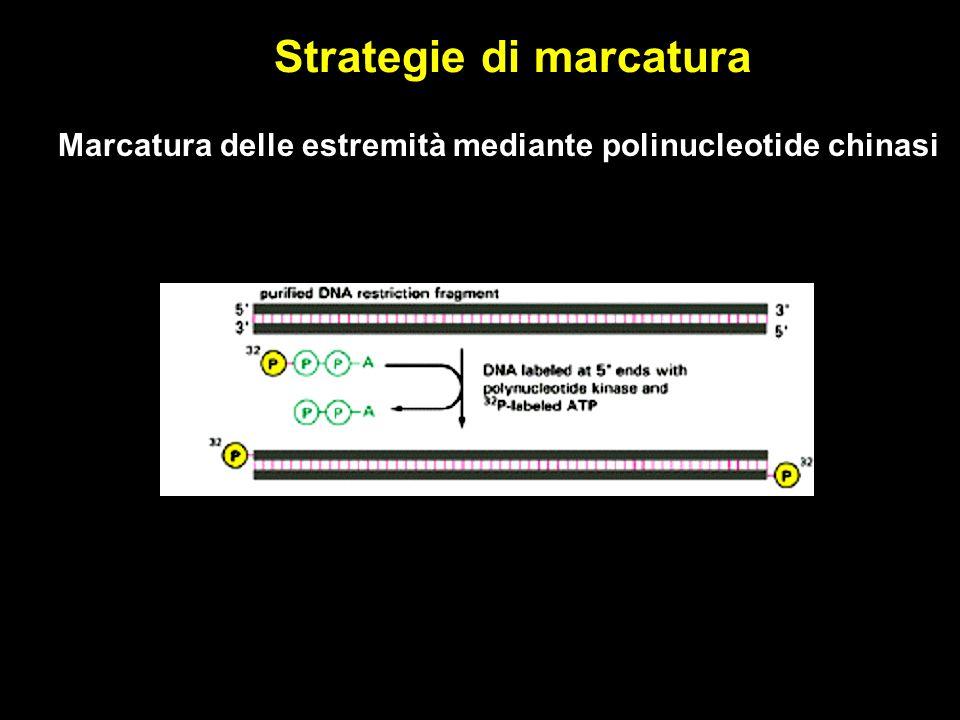 Strategie di marcatura Marcatura delle estremità mediante polinucleotide chinasi