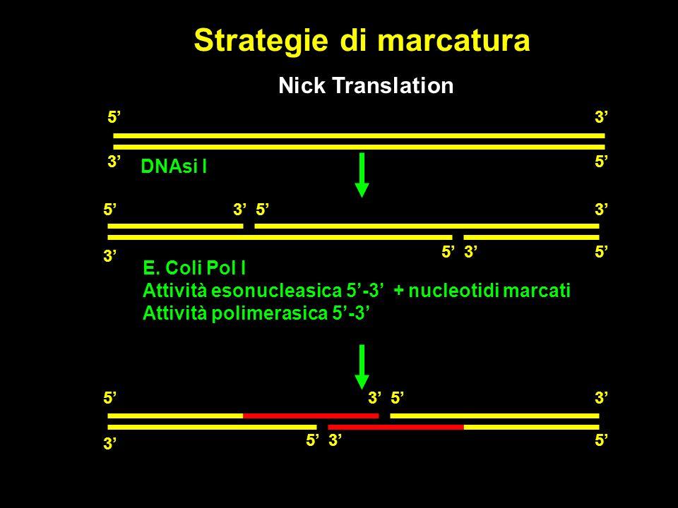 Strategie di marcatura Nick Translation DNAsi I E.
