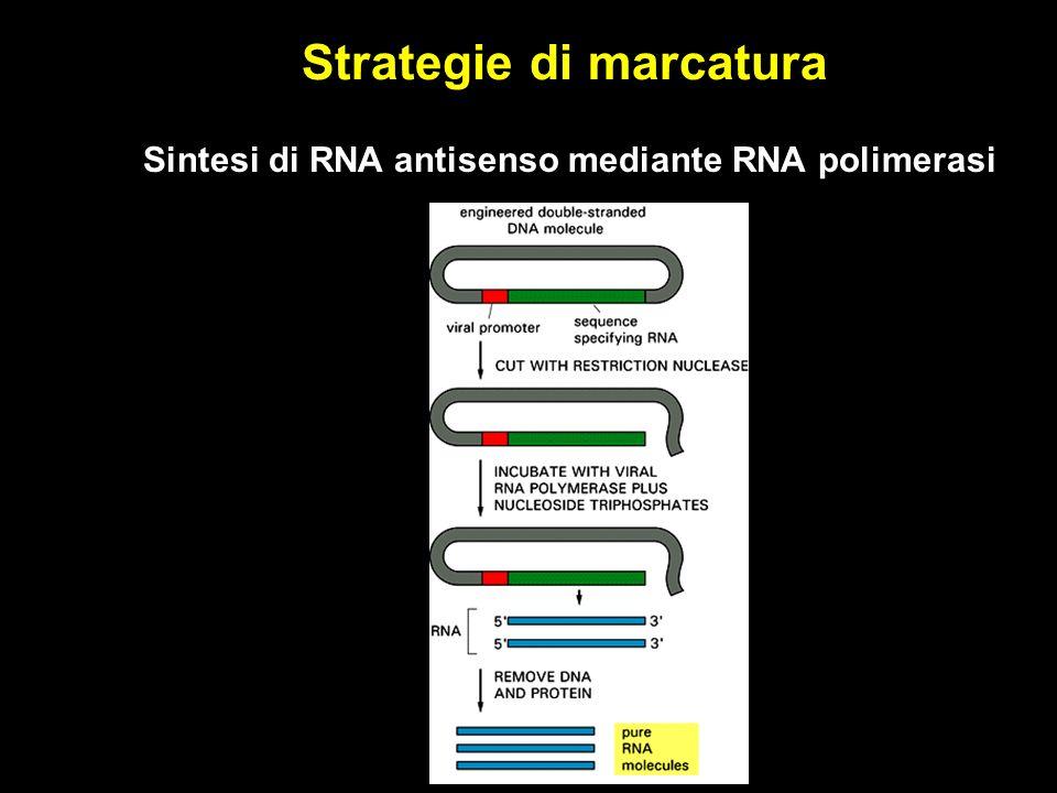 Strategie di marcatura Sintesi di RNA antisenso mediante RNA polimerasi