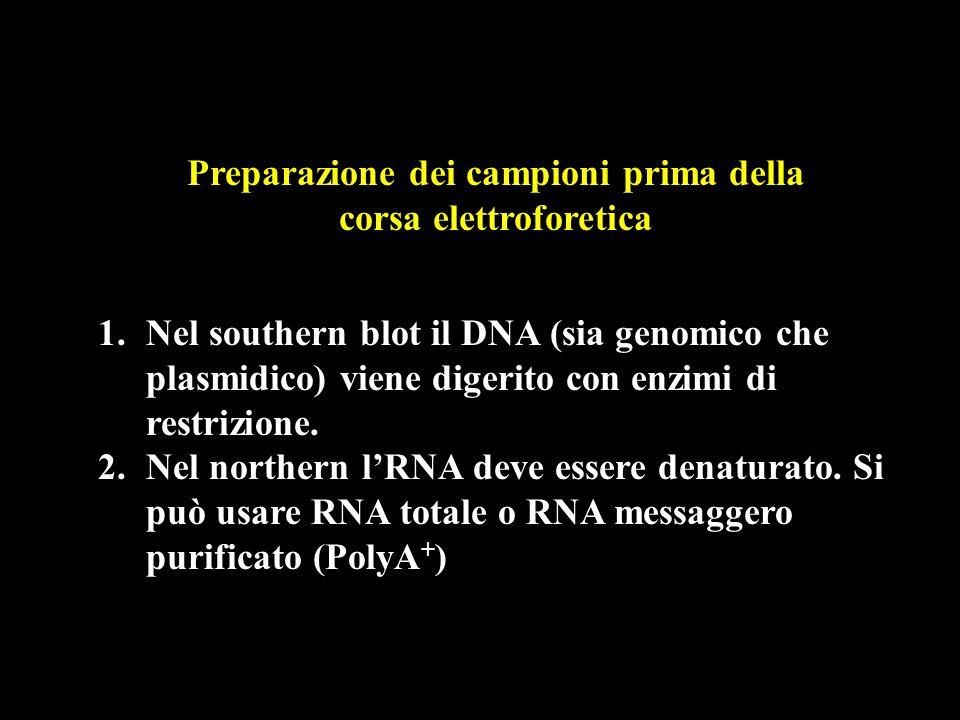 Preparazione dei campioni prima della corsa elettroforetica 1.Nel southern blot il DNA (sia genomico che plasmidico) viene digerito con enzimi di restrizione.