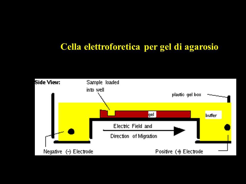 Cella elettroforetica per gel di agarosio