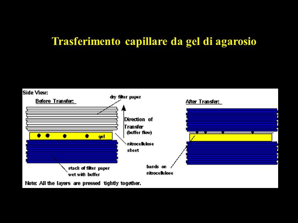 Trasferimento capillare da gel di agarosio