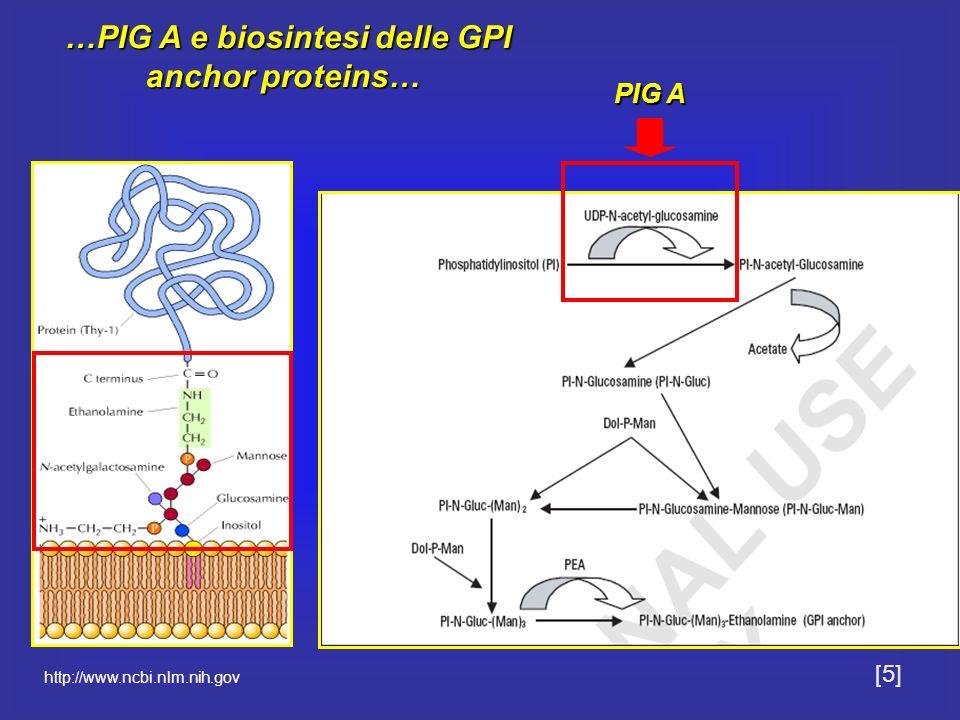 …PIG A e biosintesi delle GPI anchor proteins… …PIG A e biosintesi delle GPI anchor proteins… PIG A http://www.ncbi.nlm.nih.gov [5]