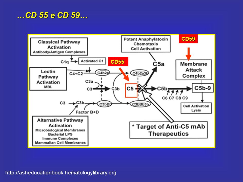 CD59 CD55 …CD 55 e CD 59… http://asheducationbook.hematologylibrary.org