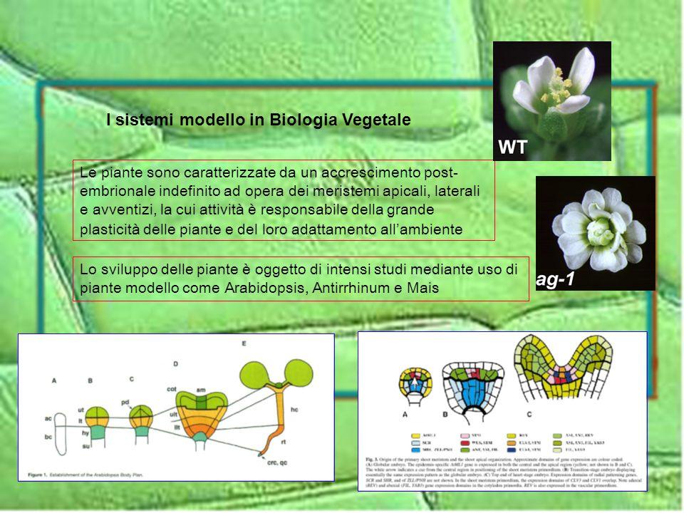 Lo sviluppo delle piante è oggetto di intensi studi mediante uso di piante modello come Arabidopsis, Antirrhinum e Mais Le piante sono caratterizzate