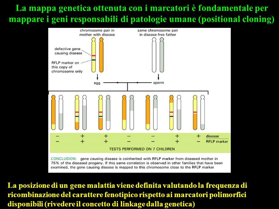 La mappa genetica ottenuta con i marcatori è fondamentale per mappare i geni responsabili di patologie umane (positional cloning) La posizione di un g