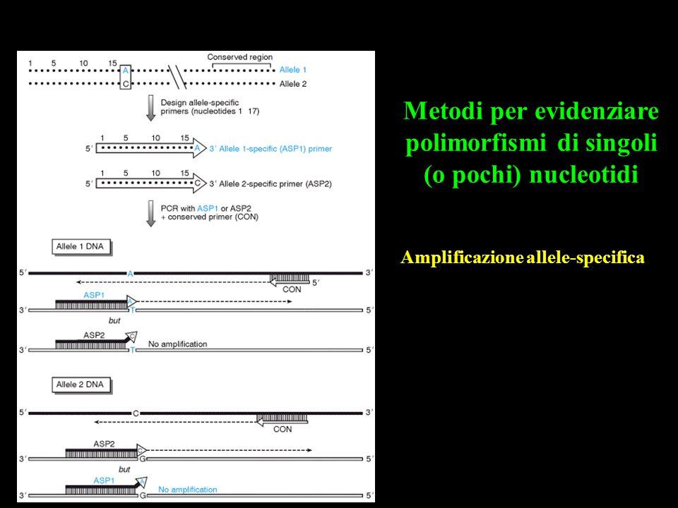 Amplificazione allele-specifica Metodi per evidenziare polimorfismi di singoli (o pochi) nucleotidi