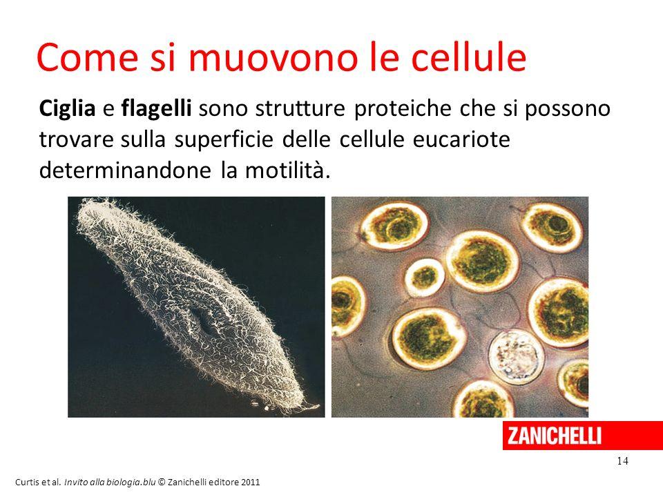 14 Curtis et al. Invito alla biologia.blu © Zanichelli editore 2011 Come si muovono le cellule Ciglia e flagelli sono strutture proteiche che si posso