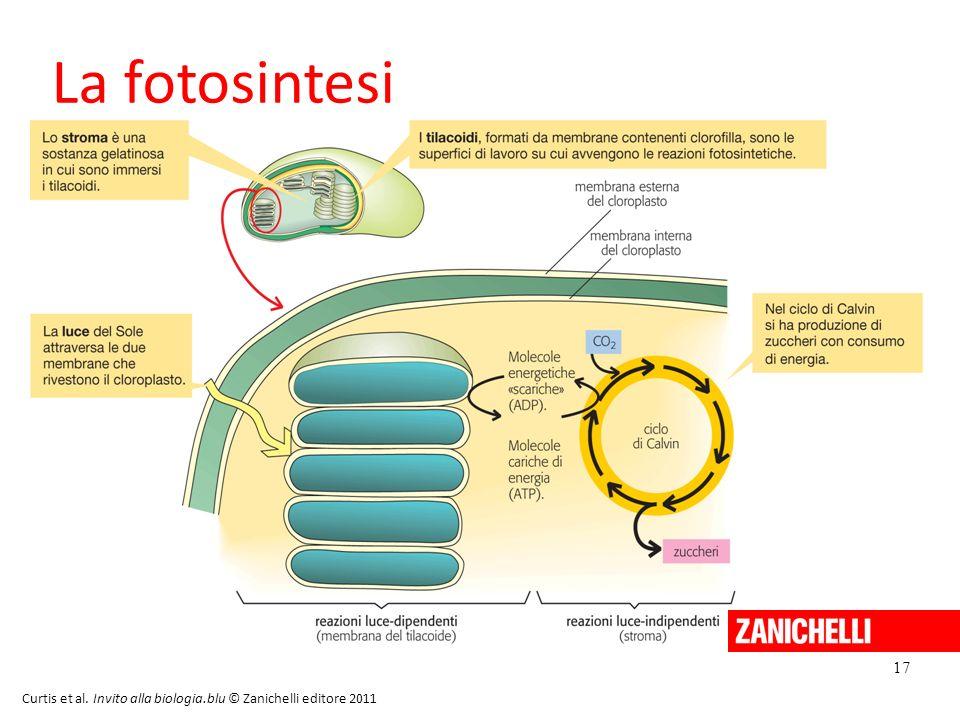 17 Curtis et al. Invito alla biologia.blu © Zanichelli editore 2011 La fotosintesi