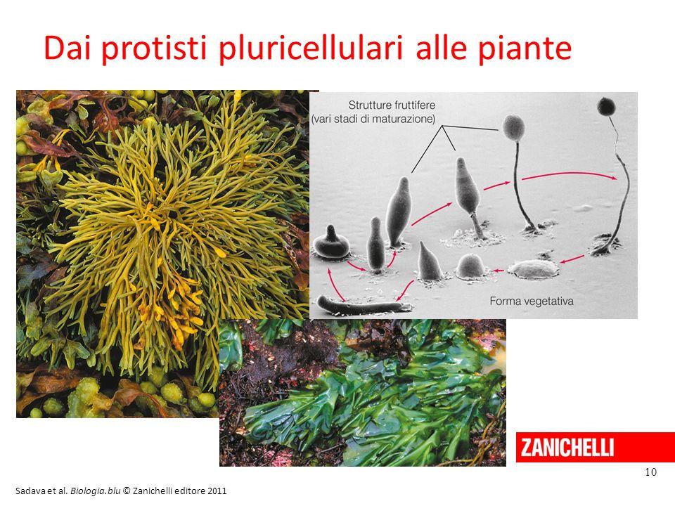 Dai protisti pluricellulari alle piante 10 Sadava et al. Biologia.blu © Zanichelli editore 2011