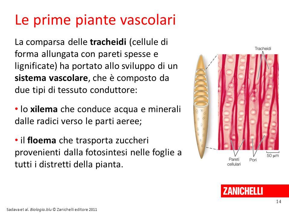 Le prime piante vascolari 14 La comparsa delle tracheidi (cellule di forma allungata con pareti spesse e lignificate) ha portato allo sviluppo di un s