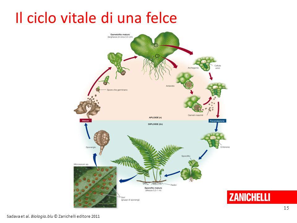 15 Il ciclo vitale di una felce Sadava et al. Biologia.blu © Zanichelli editore 2011