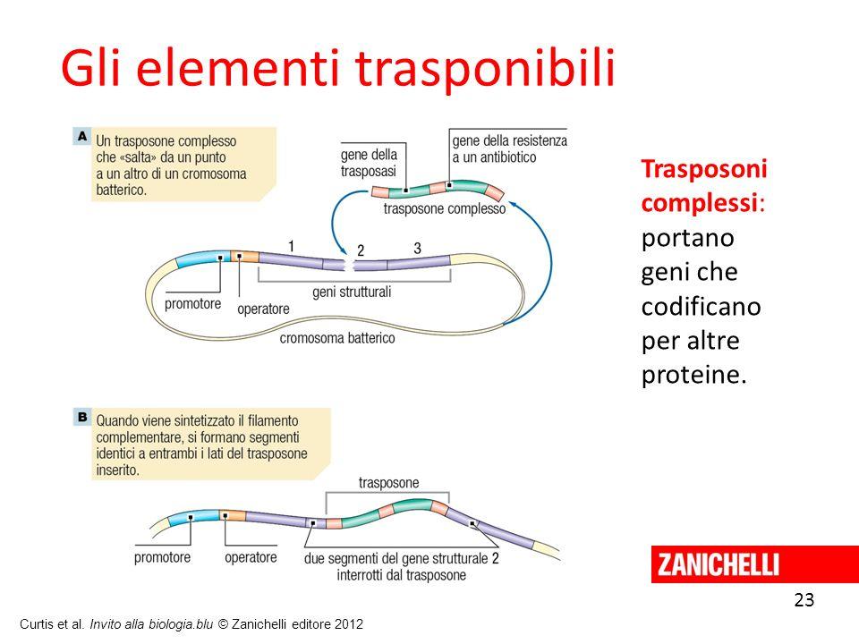 23 Curtis et al. Invito alla biologia.blu © Zanichelli editore 2012 Gli elementi trasponibili Trasposoni complessi: portano geni che codificano per al
