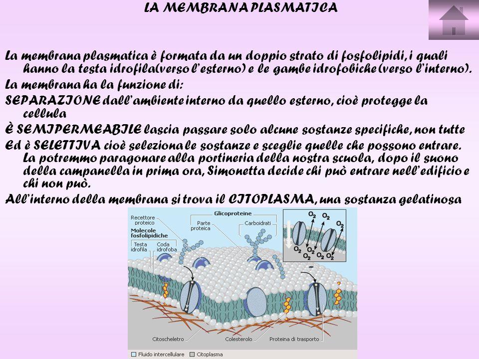 LA MEMBRANA PLASMATICA La membrana plasmatica è formata da un doppio strato di fosfolipidi, i quali hanno la testa idrofila(verso lesterno) e le gambe idrofobiche (verso linterno).