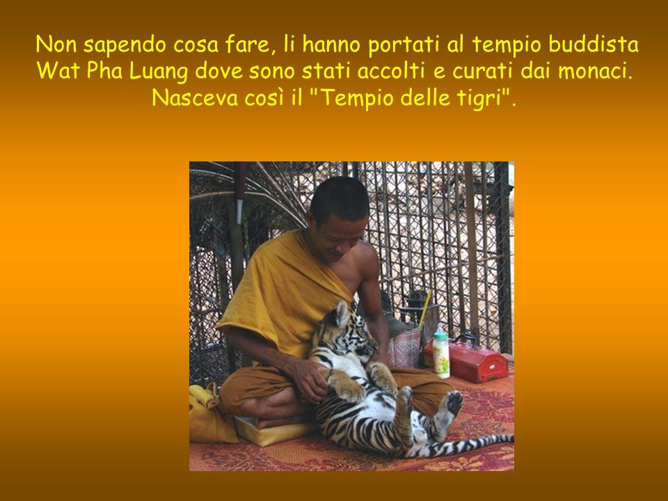 Wat Pha Luang Ta Bua Il tempio delle tigri Nel 1999, gli abitanti di un piccolo villaggio della provincia di Kanchanaburi in Thailandia hanno trovato