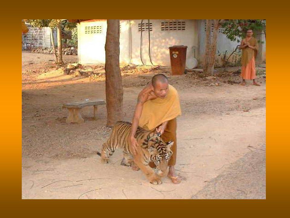 Da quel momento in poi, molti cuccioli di tigre orfani furono portati al tempio e allevati dai monaci