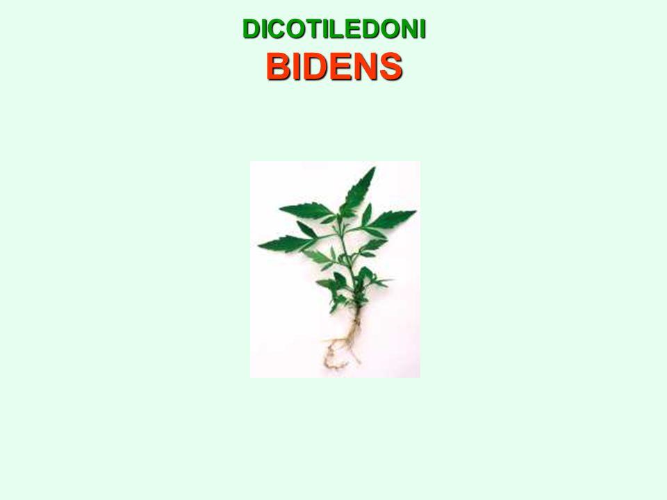 DICOTILEDONI BIDENS