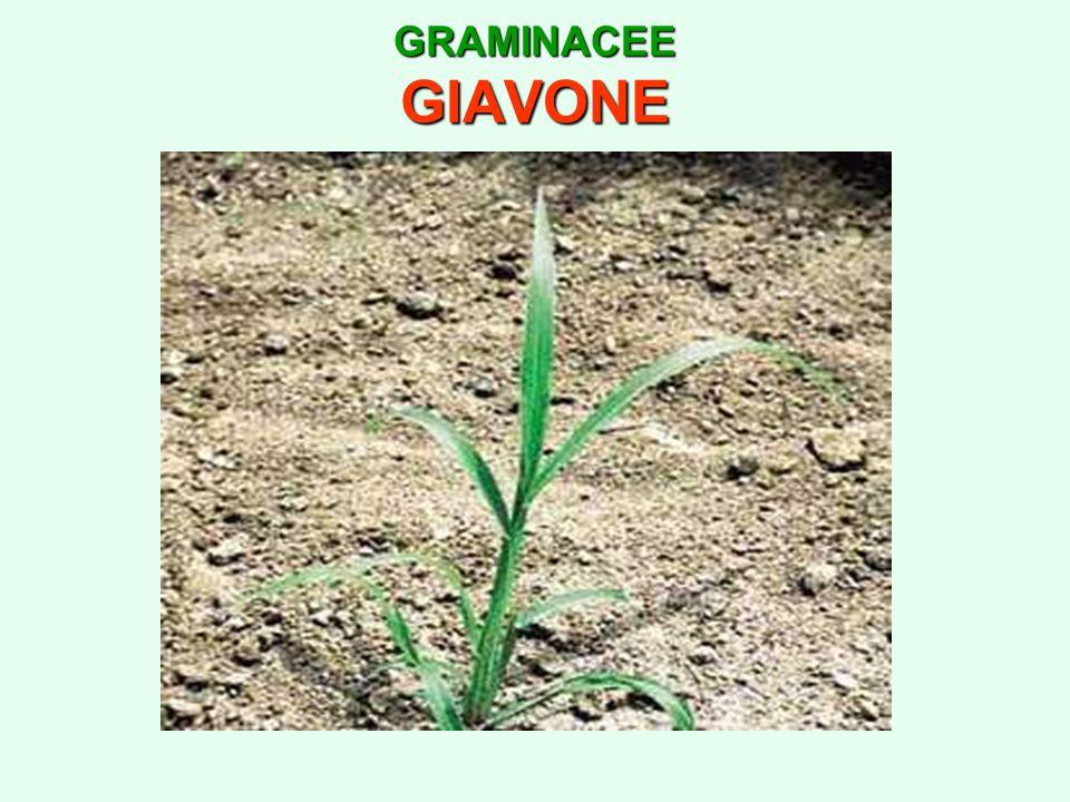 GRAMINACEE GIAVONE