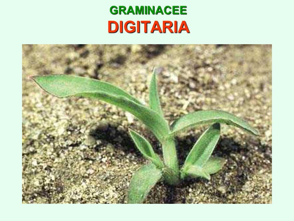 GRAMINACEE DIGITARIA