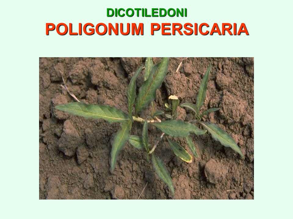 DICOTILEDONI POLIGONUM PERSICARIA