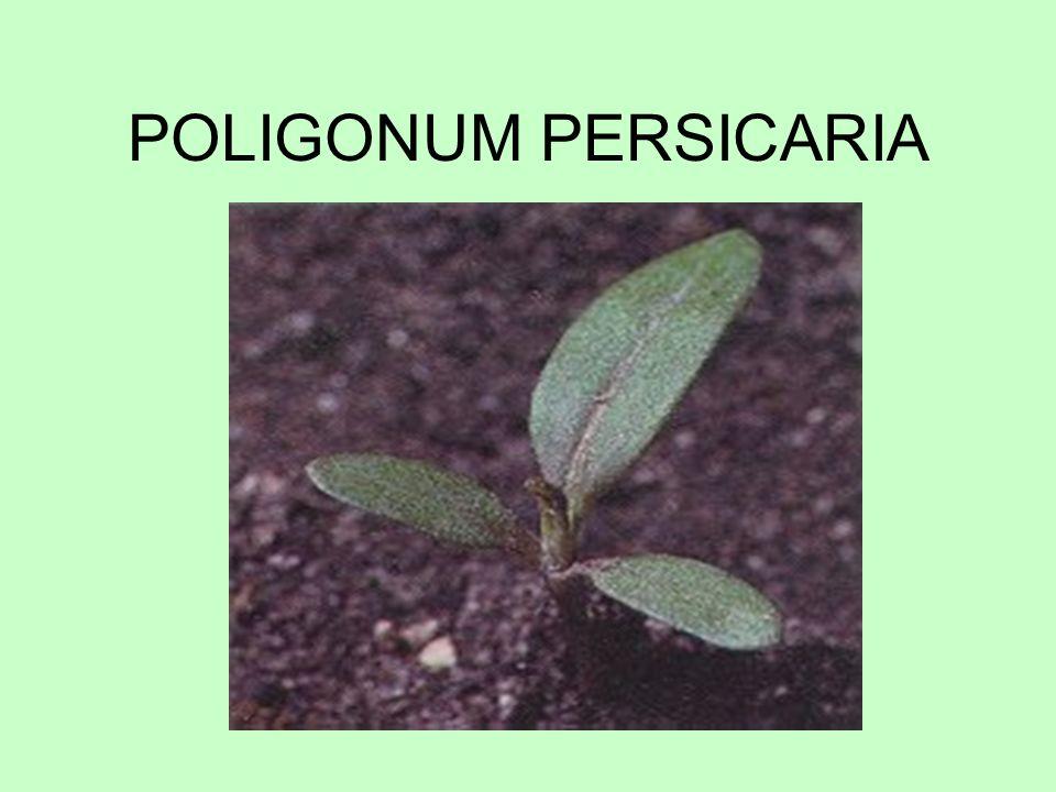 POLIGONUM PERSICARIA
