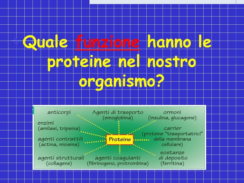 Quale funzione hanno le proteine nel nostro organismo?
