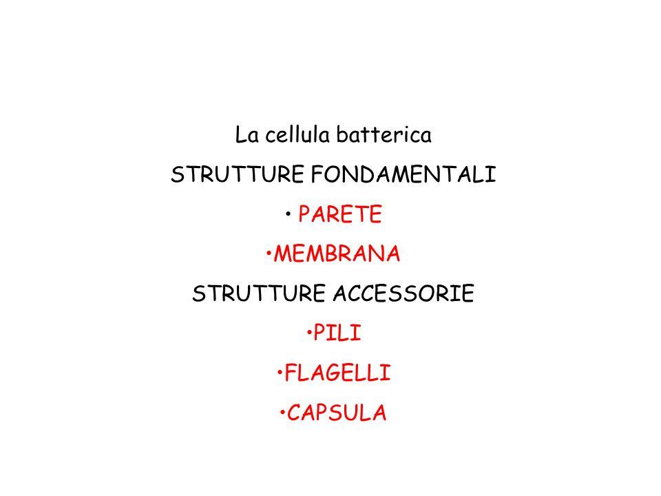 La cellula batterica STRUTTURE FONDAMENTALI PARETE MEMBRANA STRUTTURE ACCESSORIE PILI FLAGELLI CAPSULA