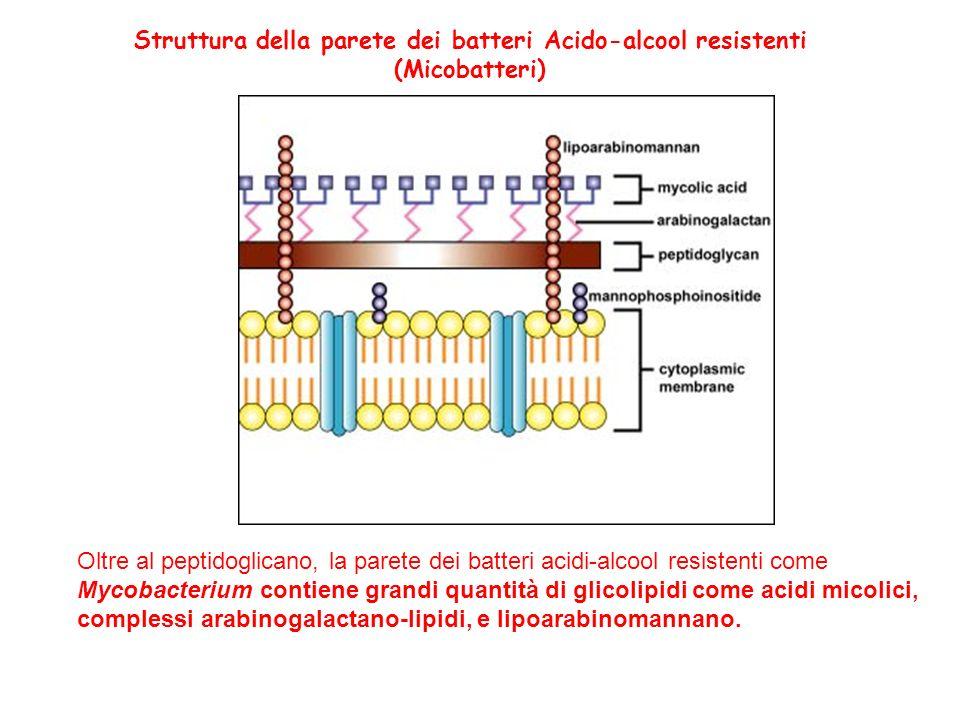 Oltre al peptidoglicano, la parete dei batteri acidi-alcool resistenti come Mycobacterium contiene grandi quantità di glicolipidi come acidi micolici,