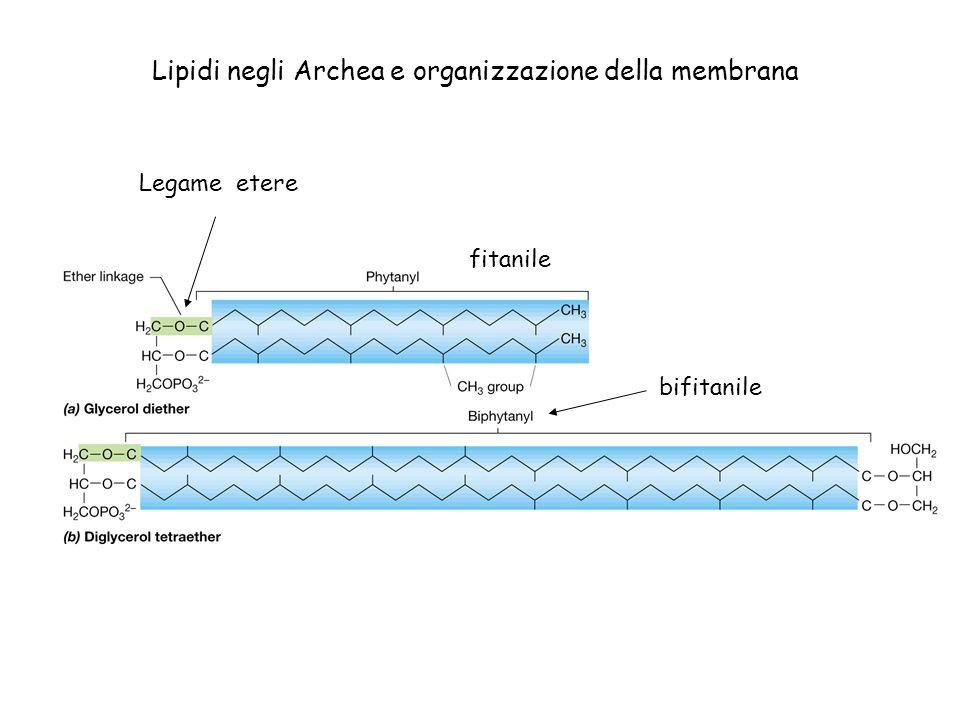 Lipidi negli Archea e organizzazione della membrana fitanile bifitanile Legame etere