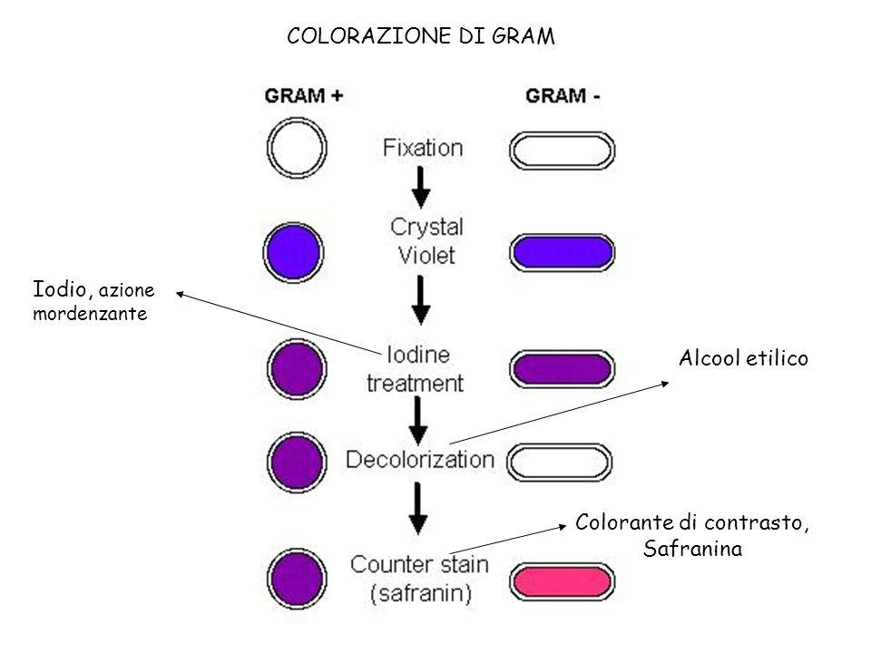 COLORAZIONE DI GRAM Alcool etilico Iodio, azione mordenzante Colorante di contrasto, Safranina