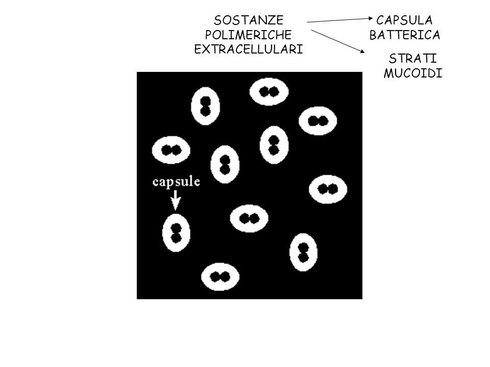 CAPSULA BATTERICA SOSTANZE POLIMERICHE EXTRACELLULARI STRATI MUCOIDI