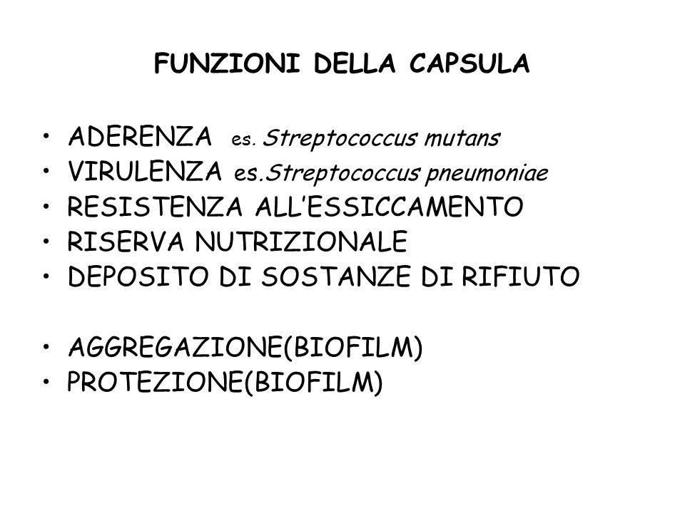 FUNZIONI DELLA CAPSULA ADERENZA es. Streptococcus mutans VIRULENZA es.Streptococcus pneumoniae RESISTENZA ALLESSICCAMENTO RISERVA NUTRIZIONALE DEPOSIT