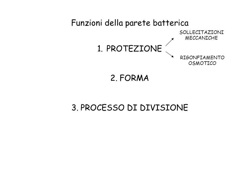 Funzioni della parete batterica 1.PROTEZIONE 2.FORMA 3.PROCESSO DI DIVISIONE SOLLECITAZIONI MECCANICHE RIGONFIAMENTO OSMOTICO
