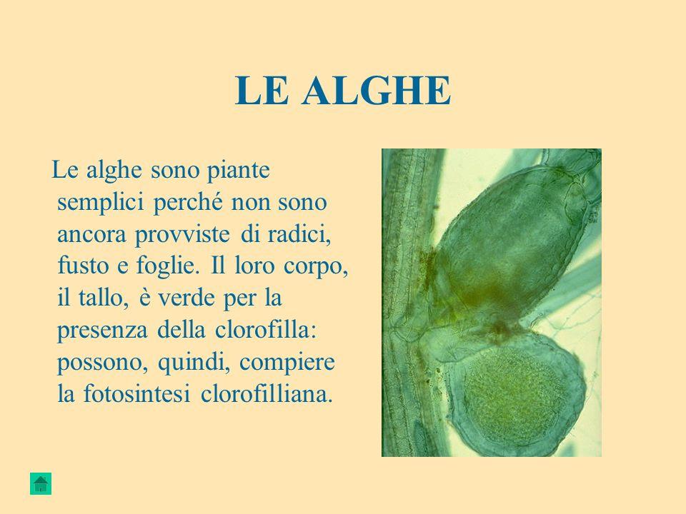 LE ALGHE Le alghe sono piante semplici perché non sono ancora provviste di radici, fusto e foglie. Il loro corpo, il tallo, è verde per la presenza de