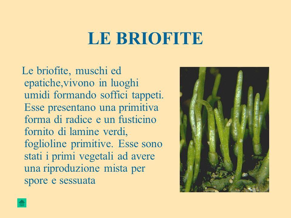 LE BRIOFITE Le briofite, muschi ed epatiche,vivono in luoghi umidi formando soffici tappeti. Esse presentano una primitiva forma di radice e un fustic