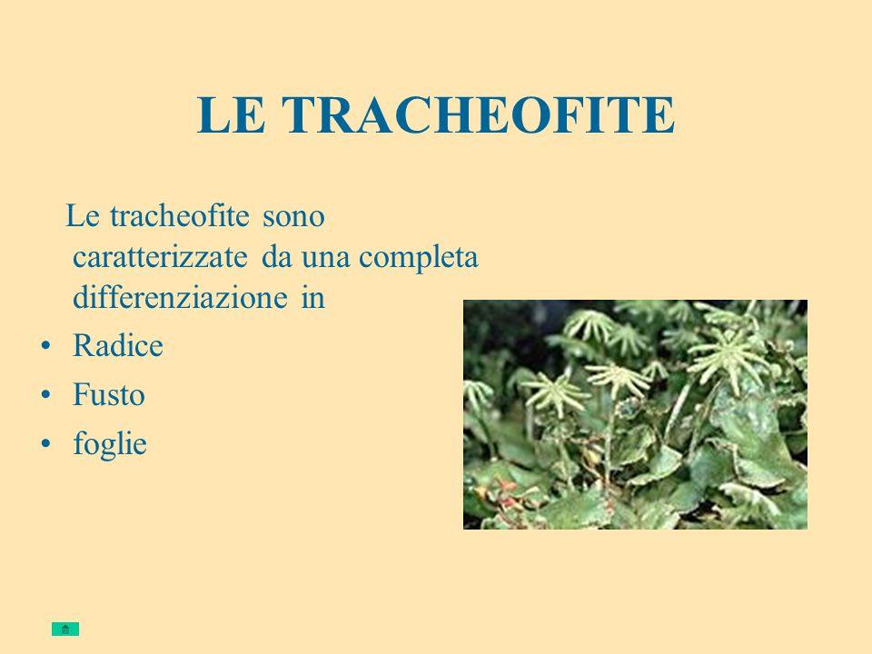 LE TRACHEOFITE Le tracheofite sono caratterizzate da una completa differenziazione in Radice Fusto foglie