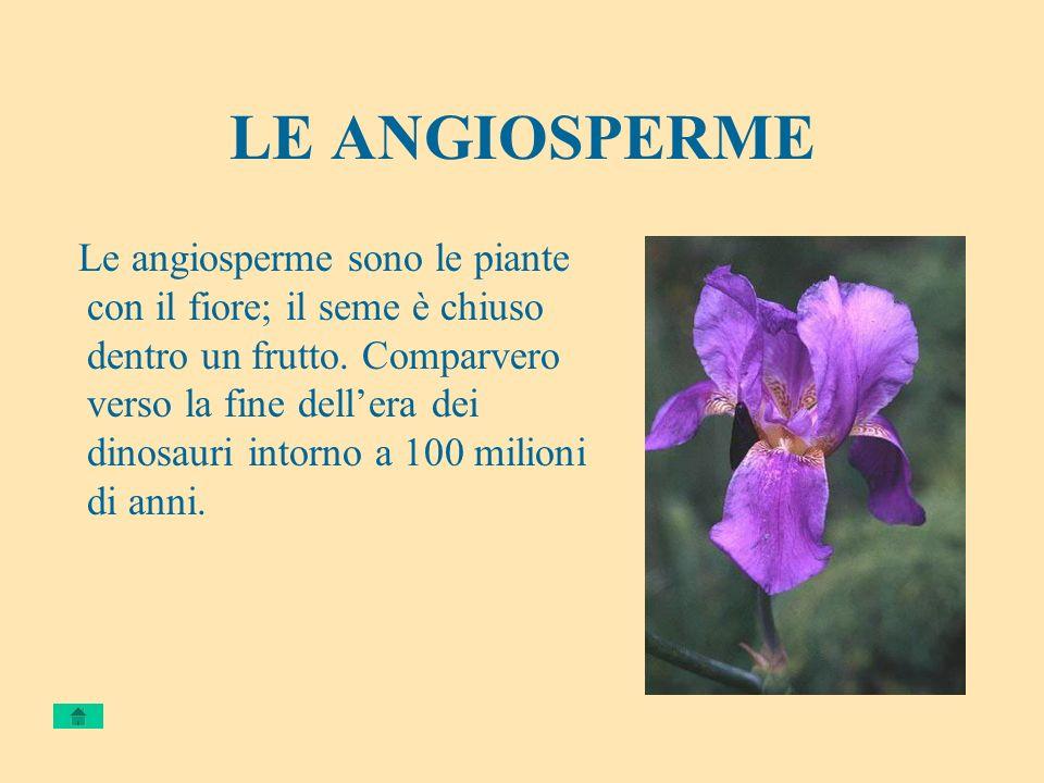 LE ANGIOSPERME Le angiosperme sono le piante con il fiore; il seme è chiuso dentro un frutto. Comparvero verso la fine dellera dei dinosauri intorno a